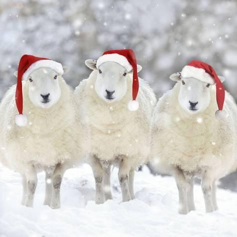 nick champion sheep sales